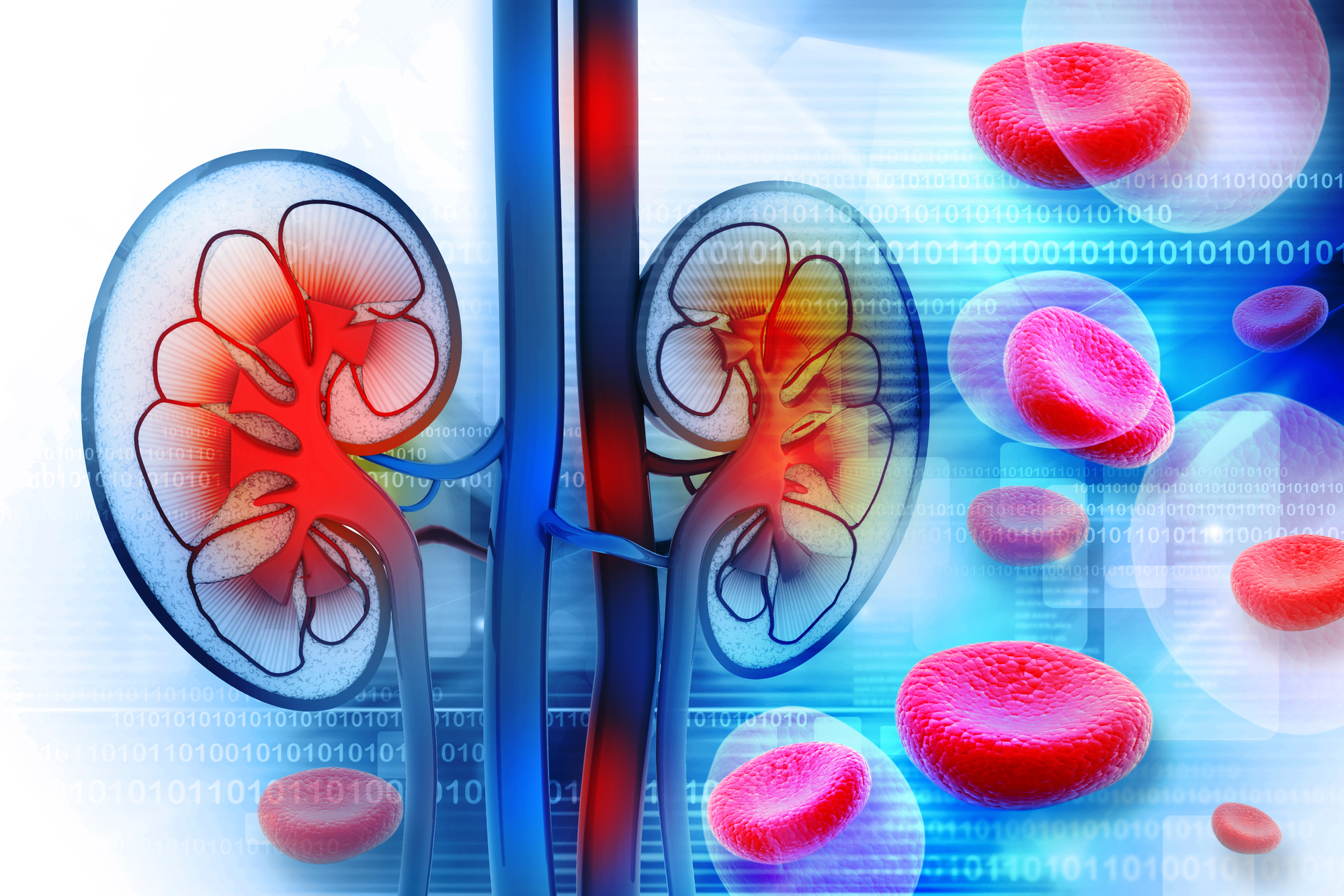 Human kidney cross section - Charity Truth