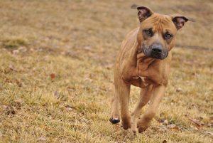 capital humane society-dog running