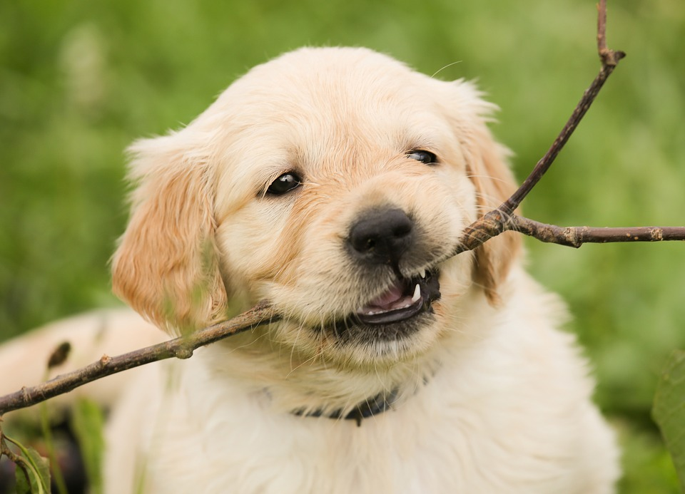 puppy playing with stick