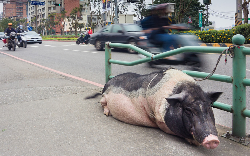 pig in the street