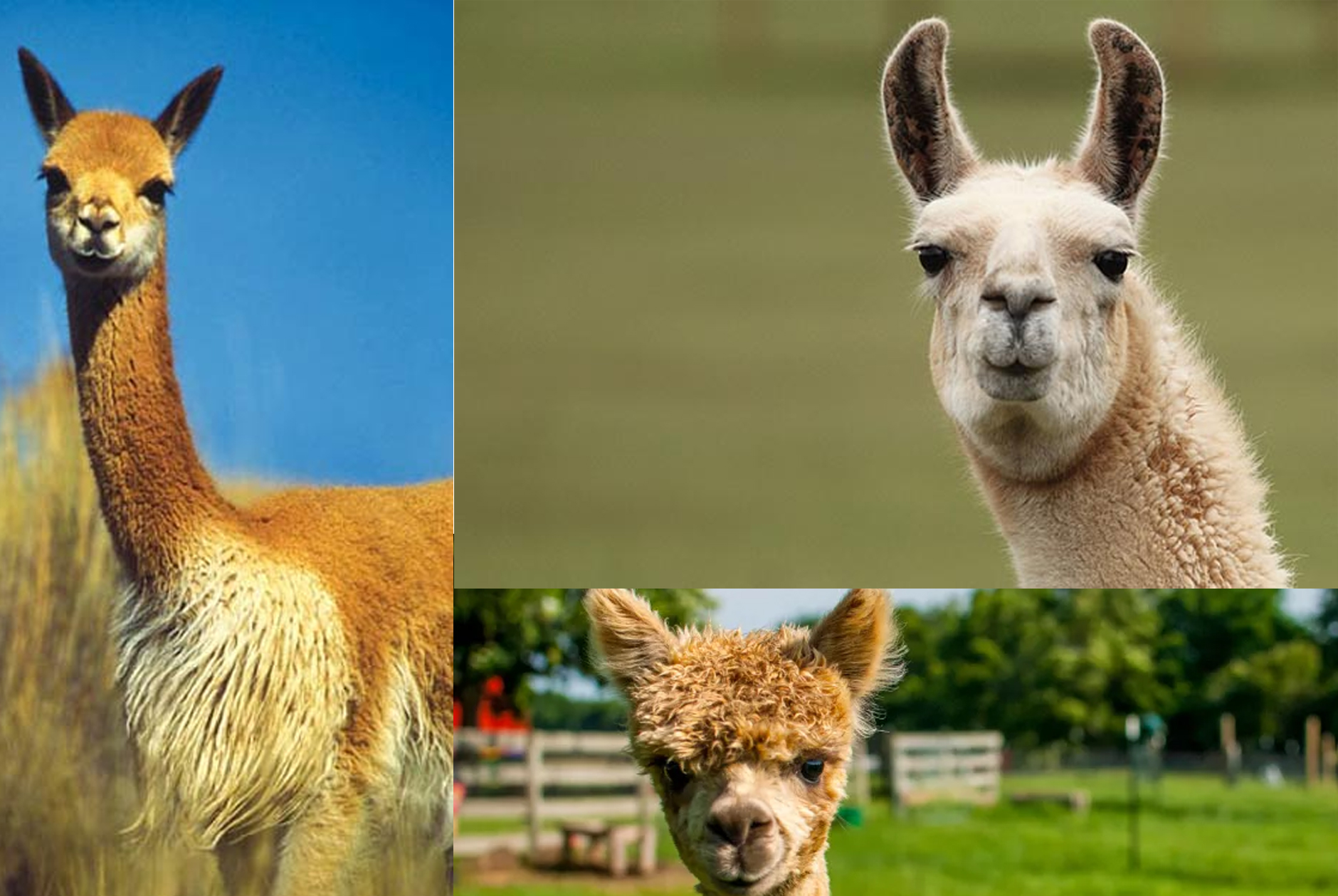 a collage photo of llamas